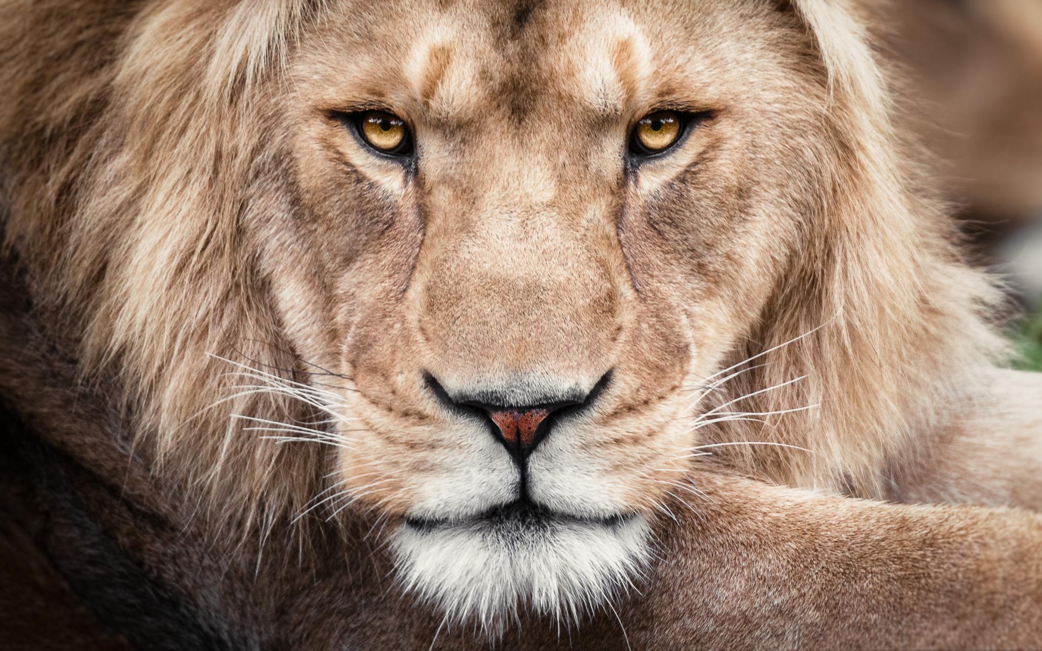 Paul Tadday Photography - Melbourne Pet Portraits - Dog & Cat Photos - lion - Melbourne zoo