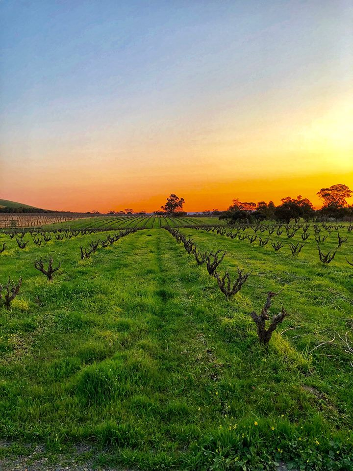 Bushvine Grenache vineyard at sunset