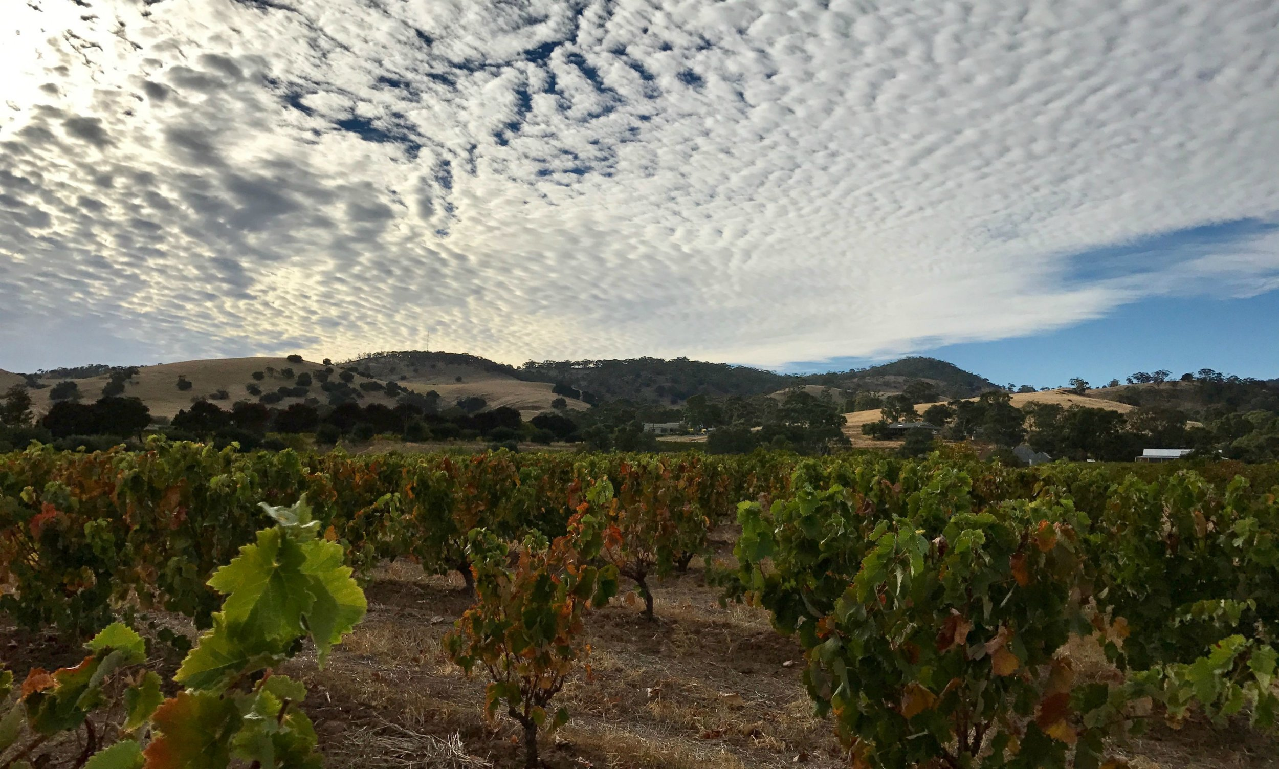 Our beloved bush vine Mataro