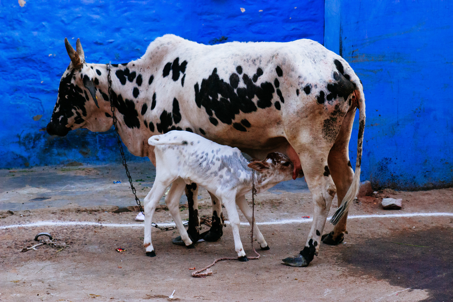 Cow and Calf, Jodhpur