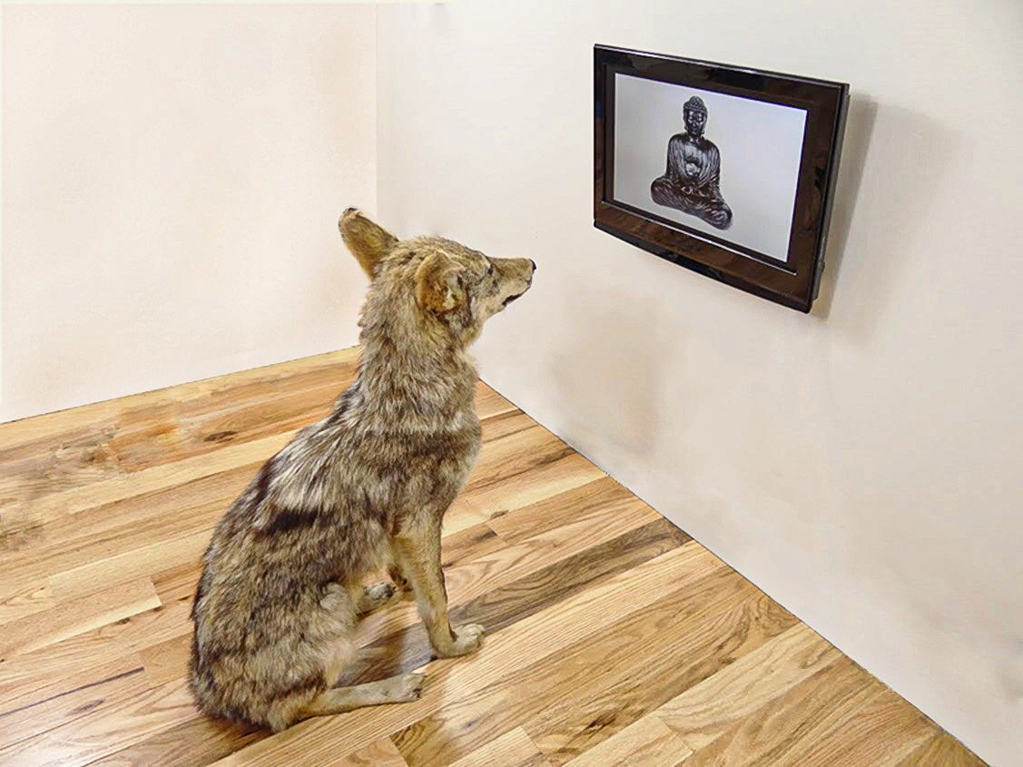 I Like Buddha and Buddha Likes Me (after Joseph Beuys, Nam June Paik)   2013  taxidermy coyote, TV monitor, single channel video