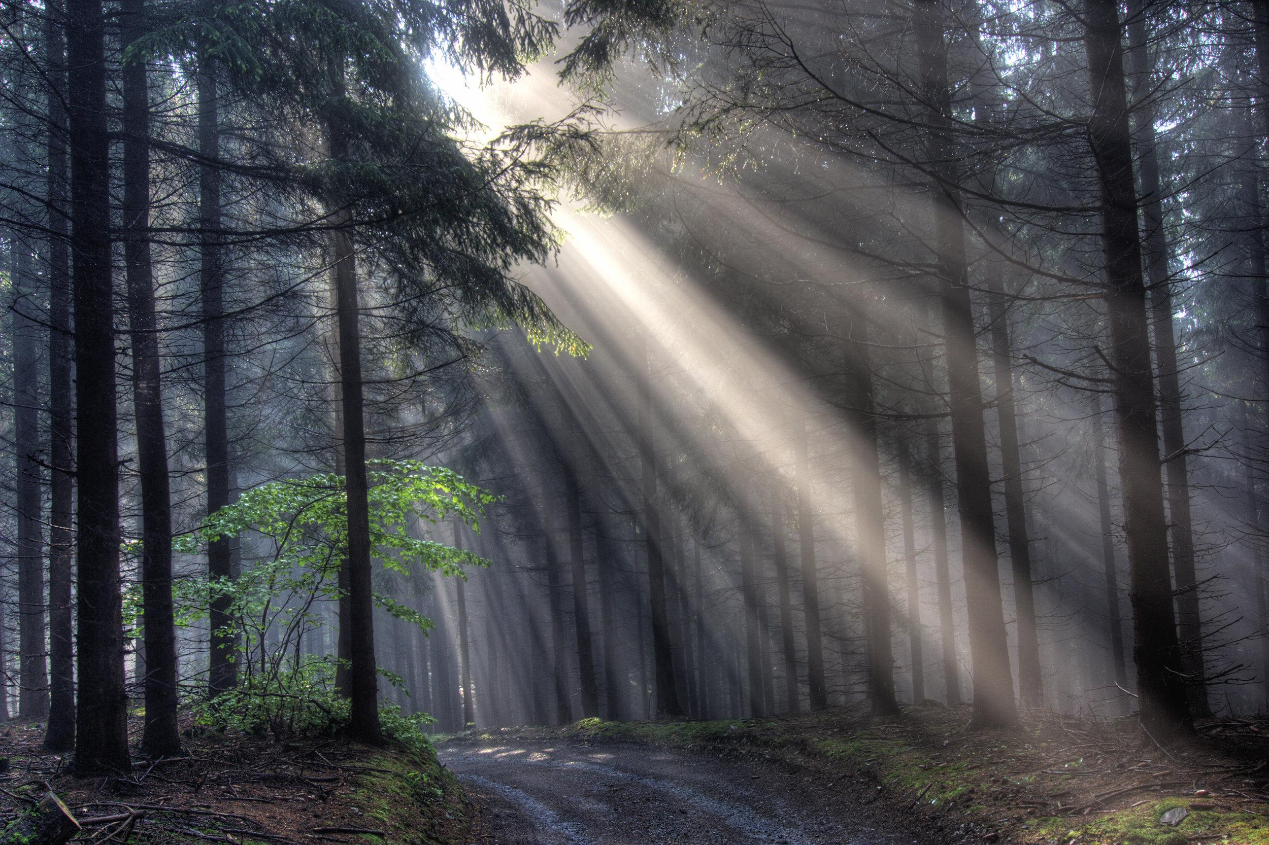 god-beams-coniferous-forest-in-fog-PU23CCF.jpg