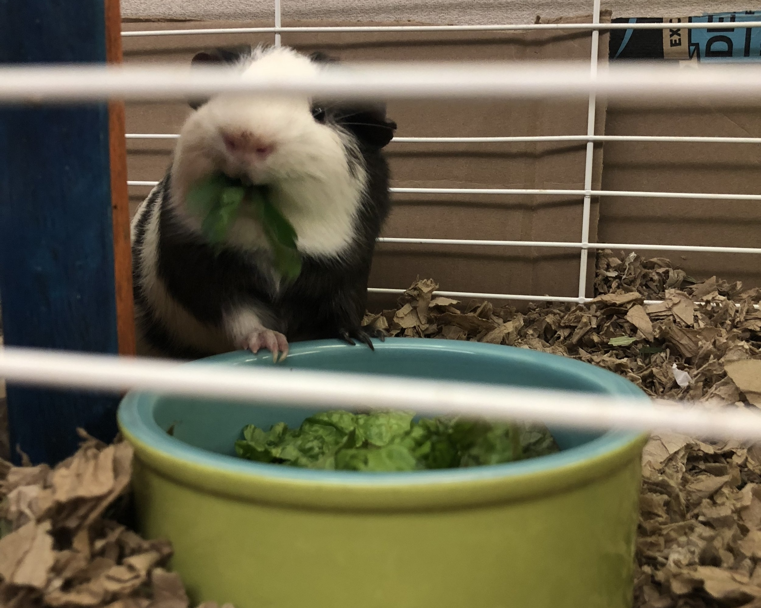 Here he is at present, enjoying his first bits of lettuce and parsley.