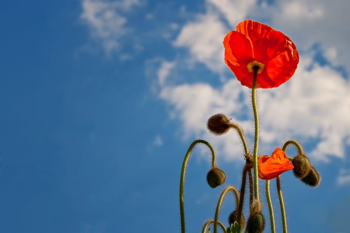 poppy-sky-blue-nature-39012.jpeg