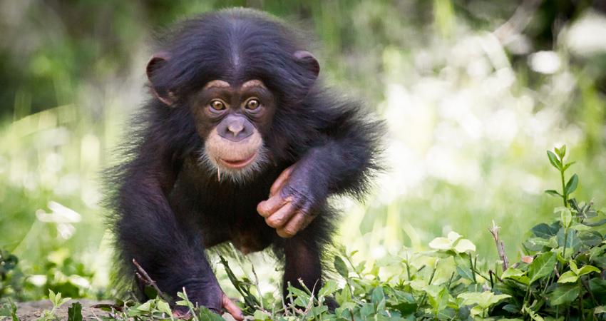 Milo-Chimpanzee-850x450.png