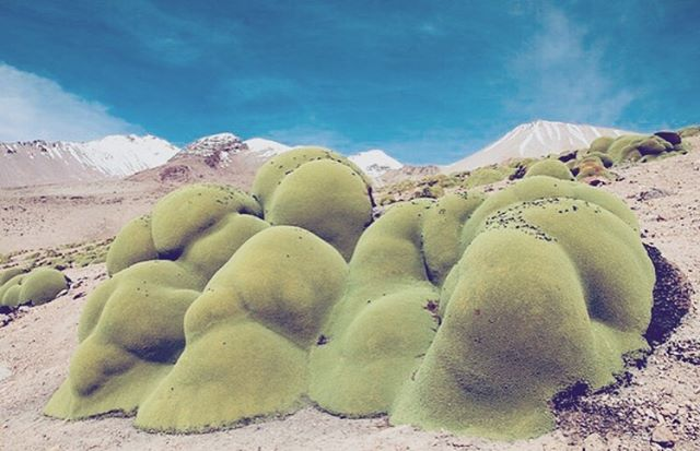 EARTH/ while they are still here, celebrate the diversity of wonder still growing across this earth. the #yareta plant grows  in high alpine regions of South America. Some  plants are over 3000 years old.  Image via @celestialterrestrial