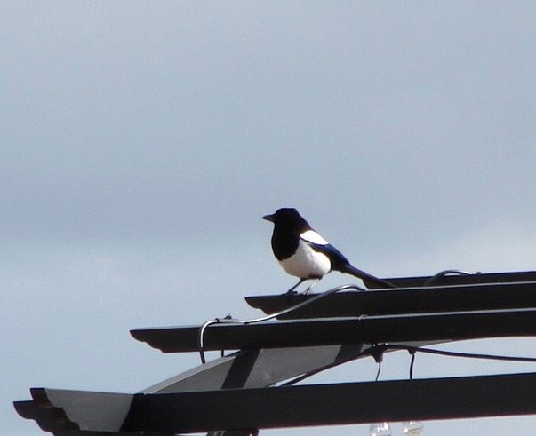 Magpies are super smart and fun to watch. They also build the ugliest nests.