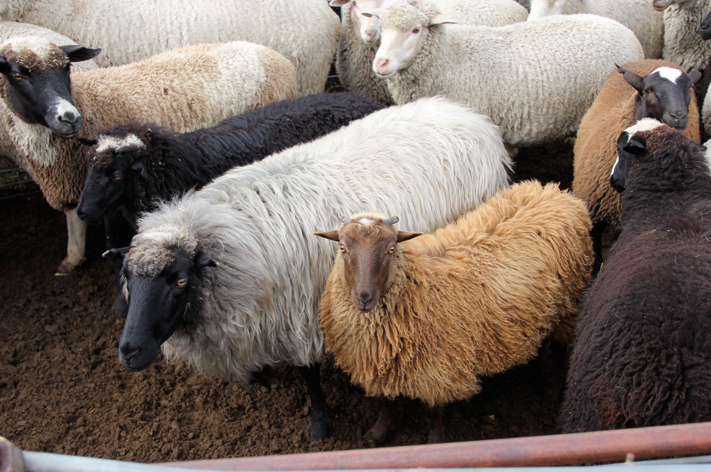 Churro Sheep.jpg