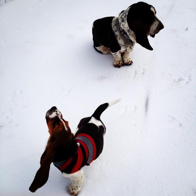 #instagramcatchup #hot_hounds #heathers_hounds #heartoftexashounds #europeanbassethound #maplestreetisitlove #bassethound #bassethoundinsnow #snow #dog #heartoftexasbassets #updatessoon