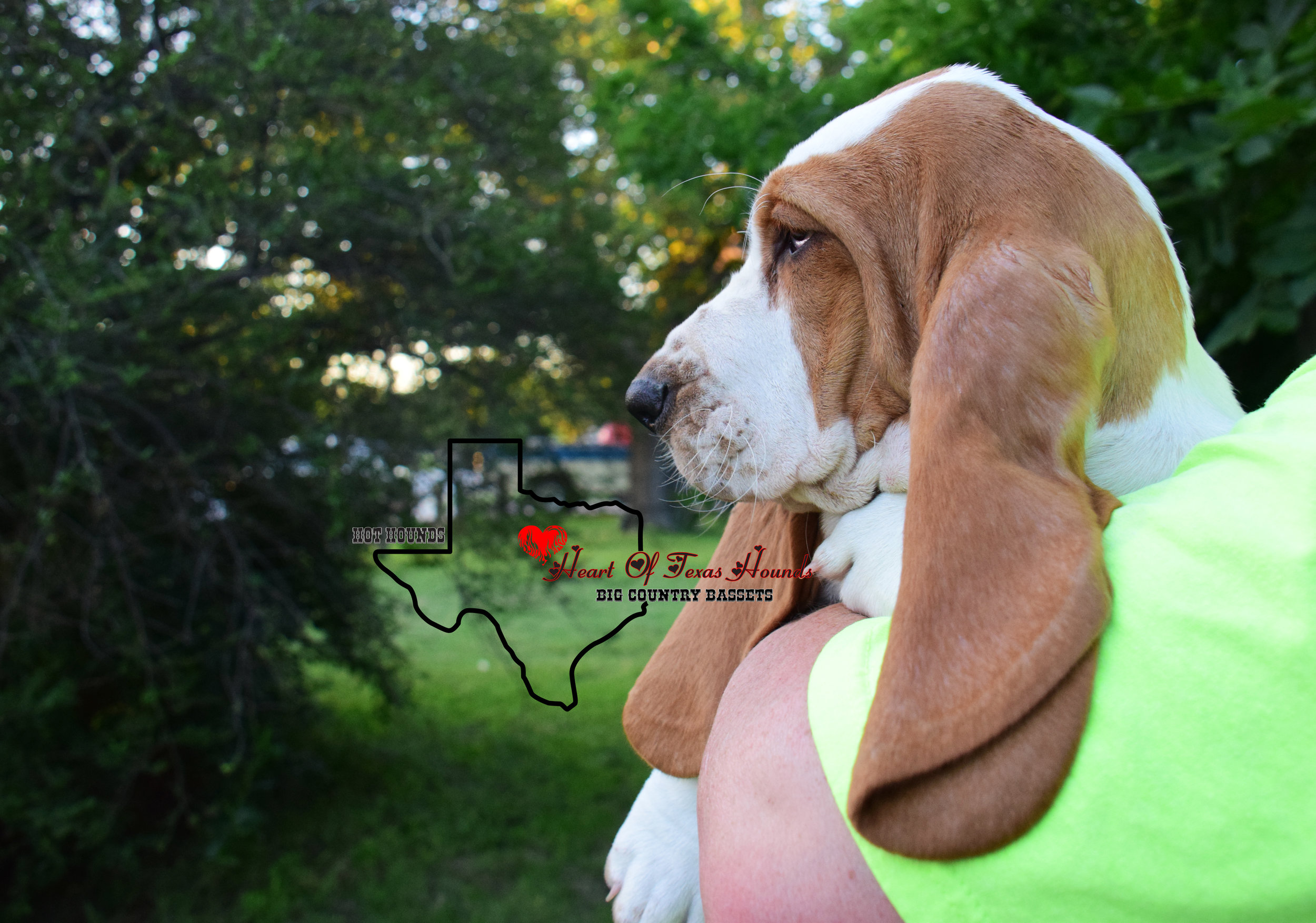 AKC 100% EUROPEAN BASSET HOUND  HEART OF TEXAS HOUNDS
