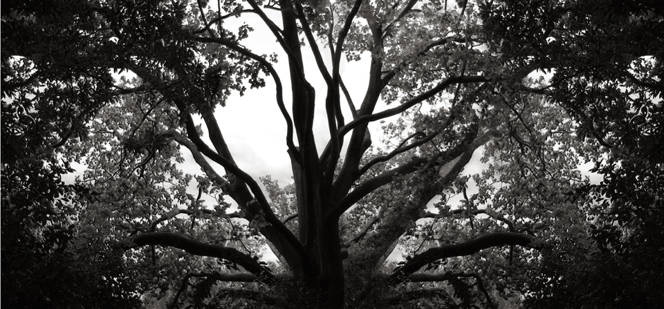 Spider Tree - Black and White Photograph