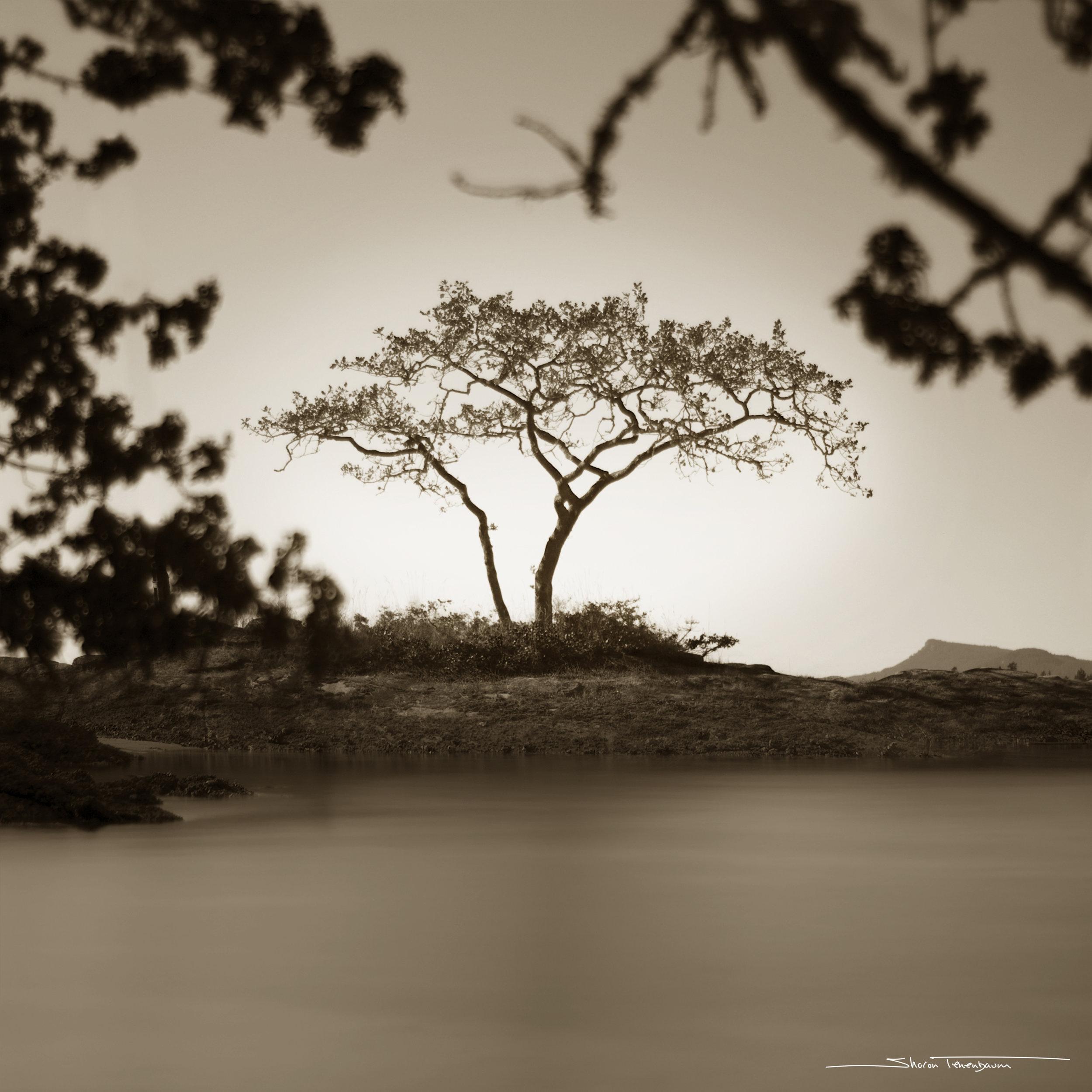 Galiano Tree - Original Image in Sepia Tone