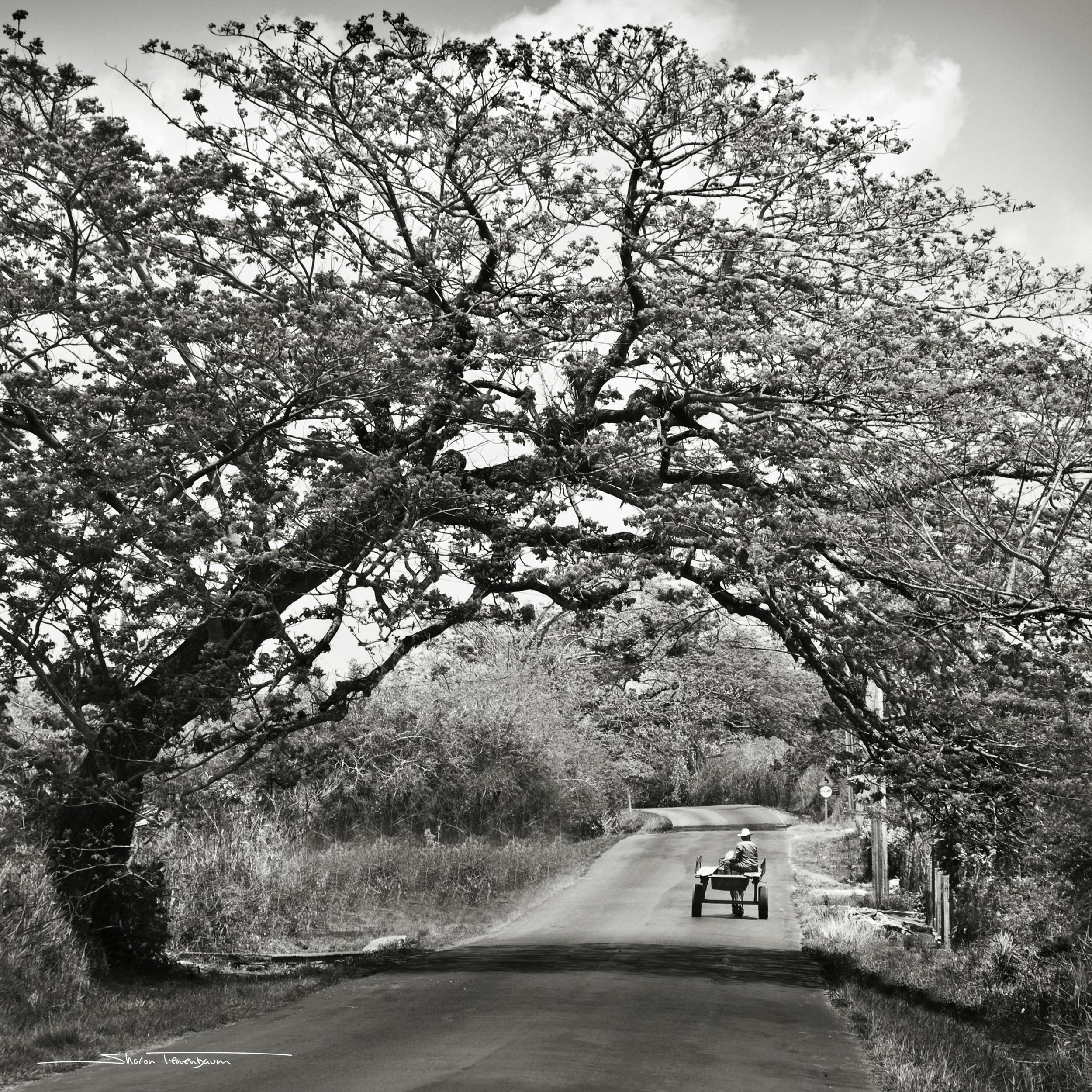 Cuban Tree - Original Black and White Photograph