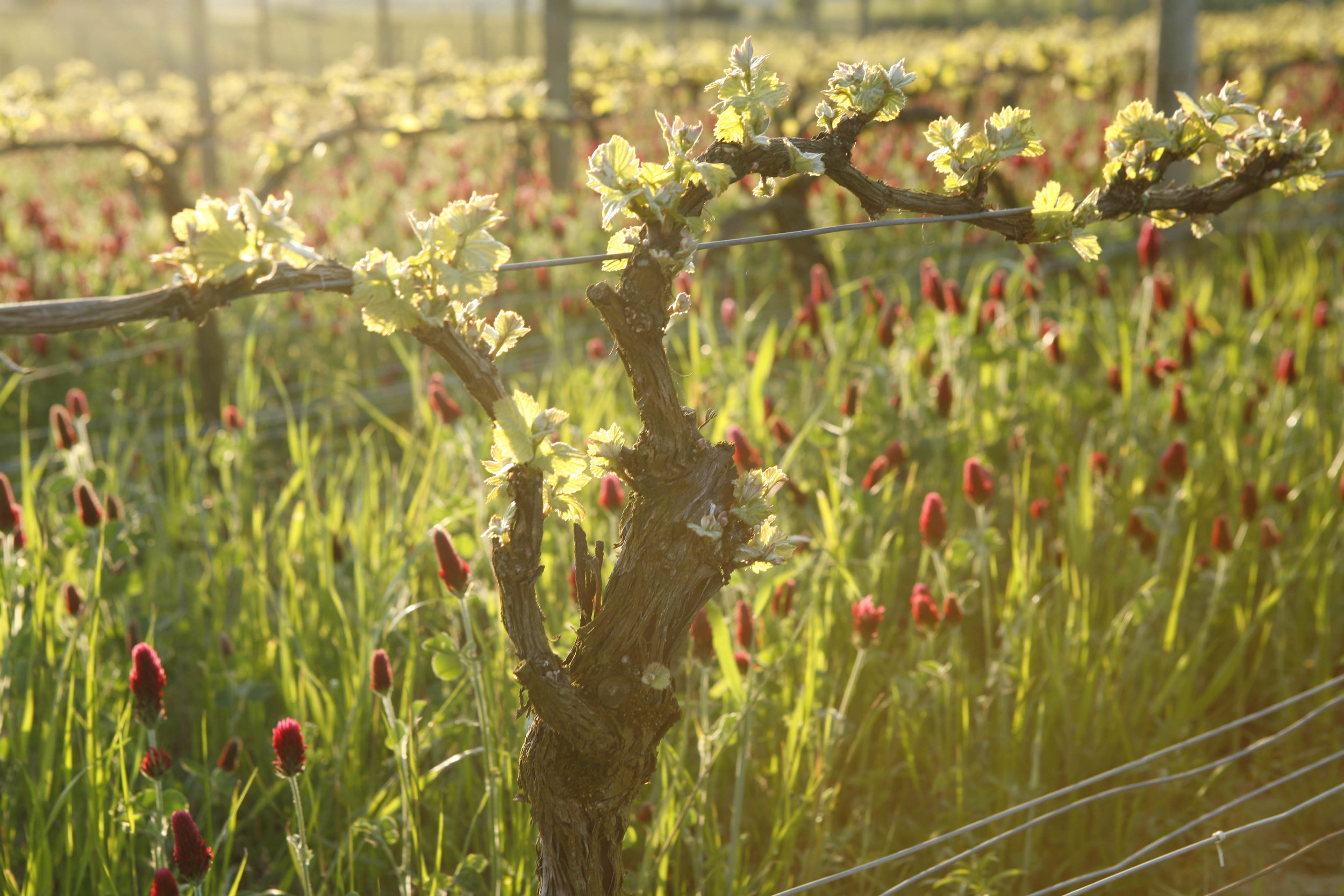 Sunlit Flowers at Adelsheim Vineyard