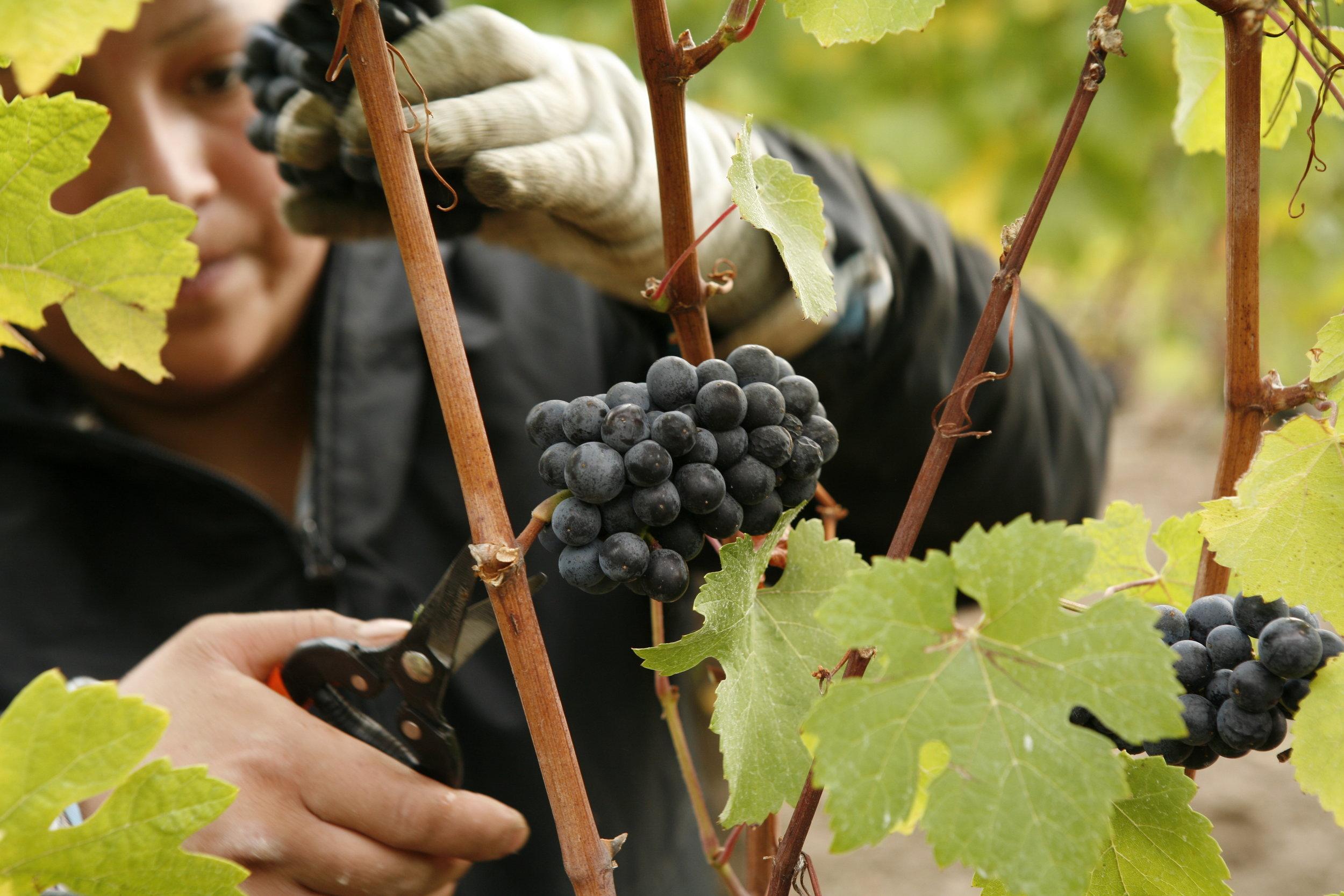 Grape Picking at Adelsheim