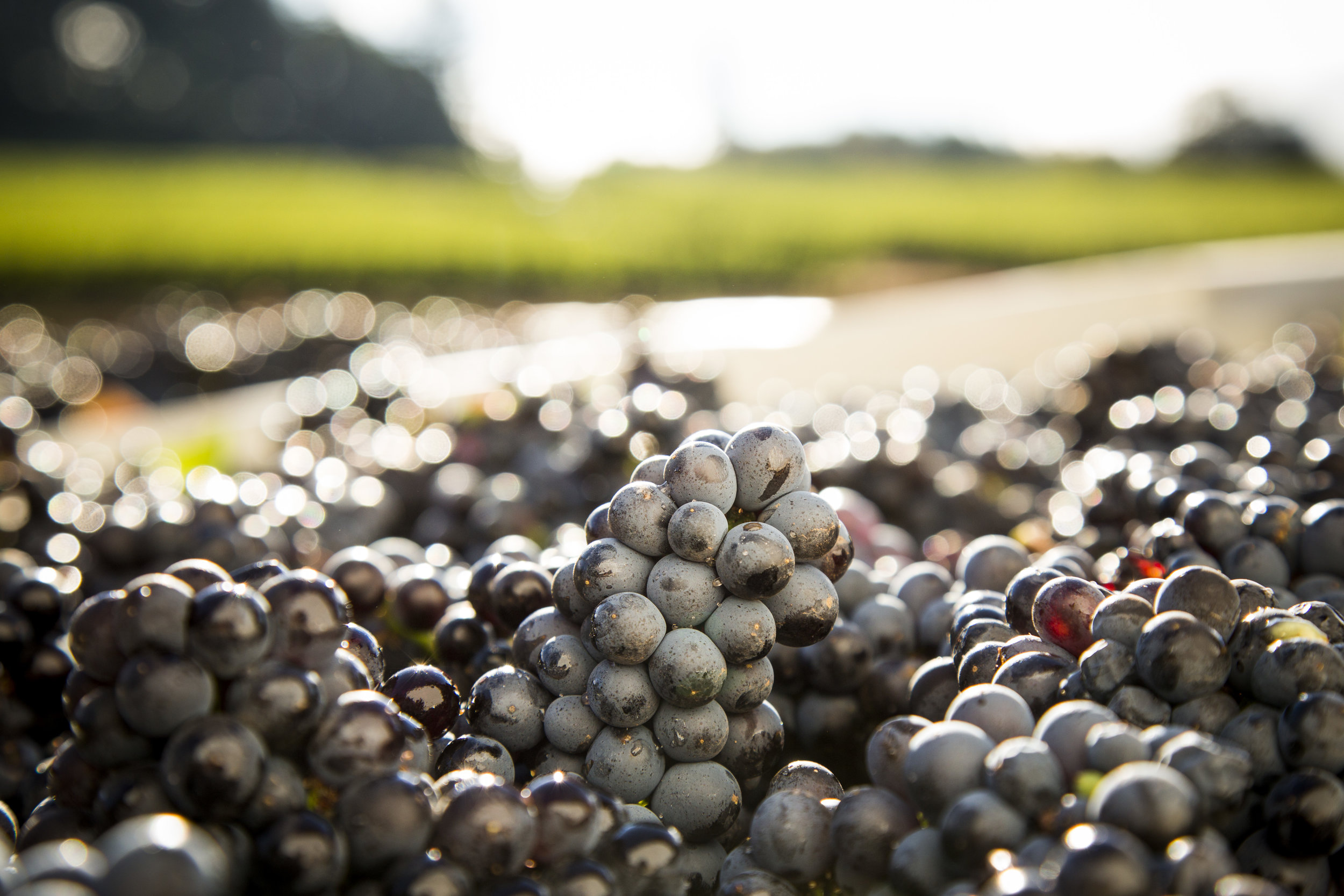 Adelsheim Grapes in Vineyard