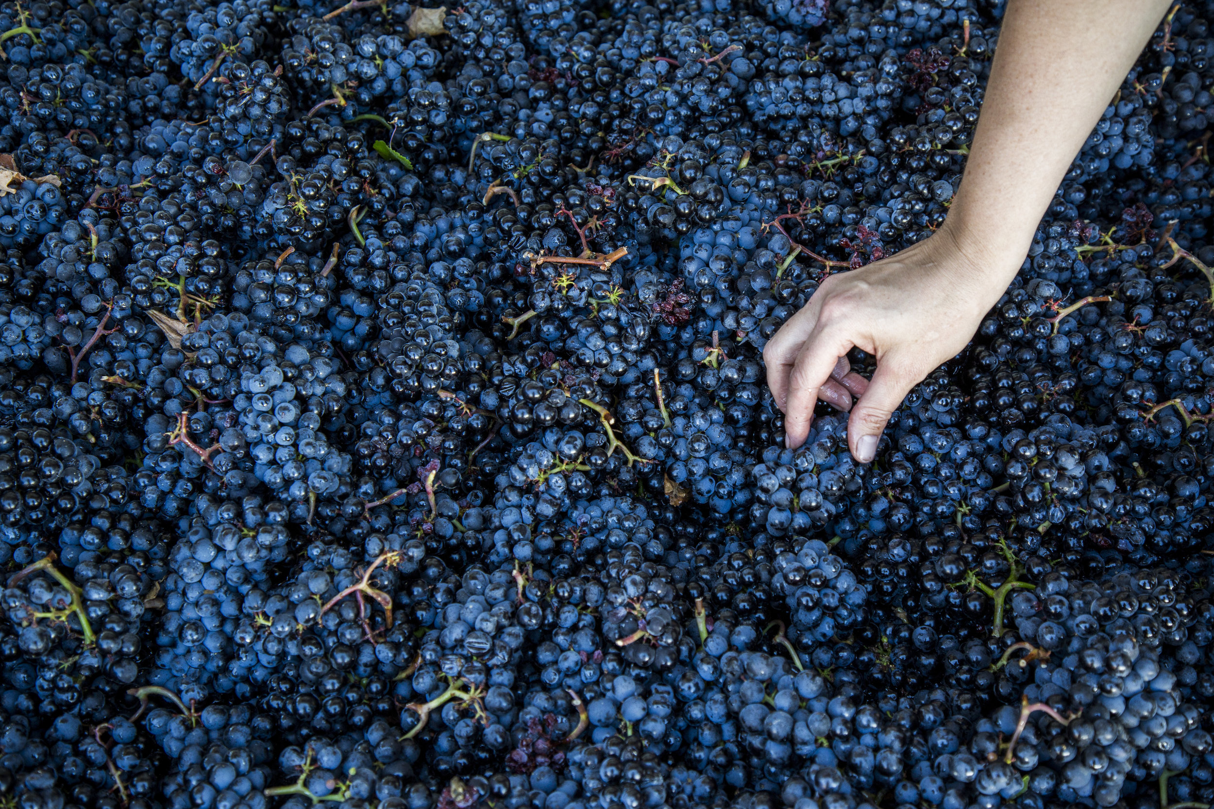 Picked Grape Clusters from Harvest