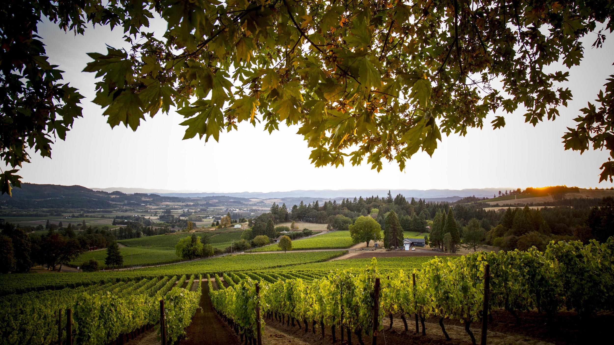 Scenic landscape view of Adelsheim Vineyard