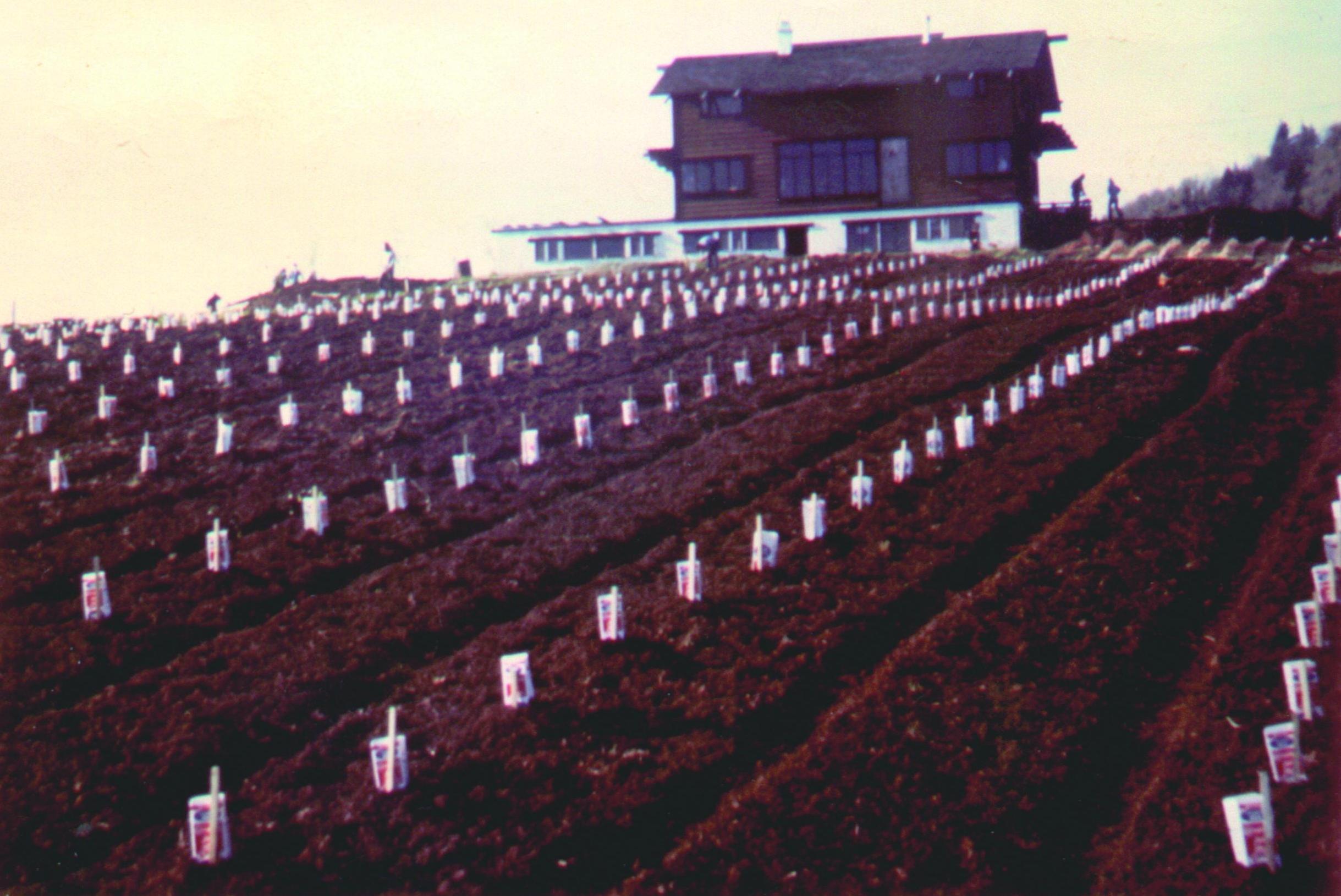 Vintage Photo of Fields in Adelsheim Vineyard