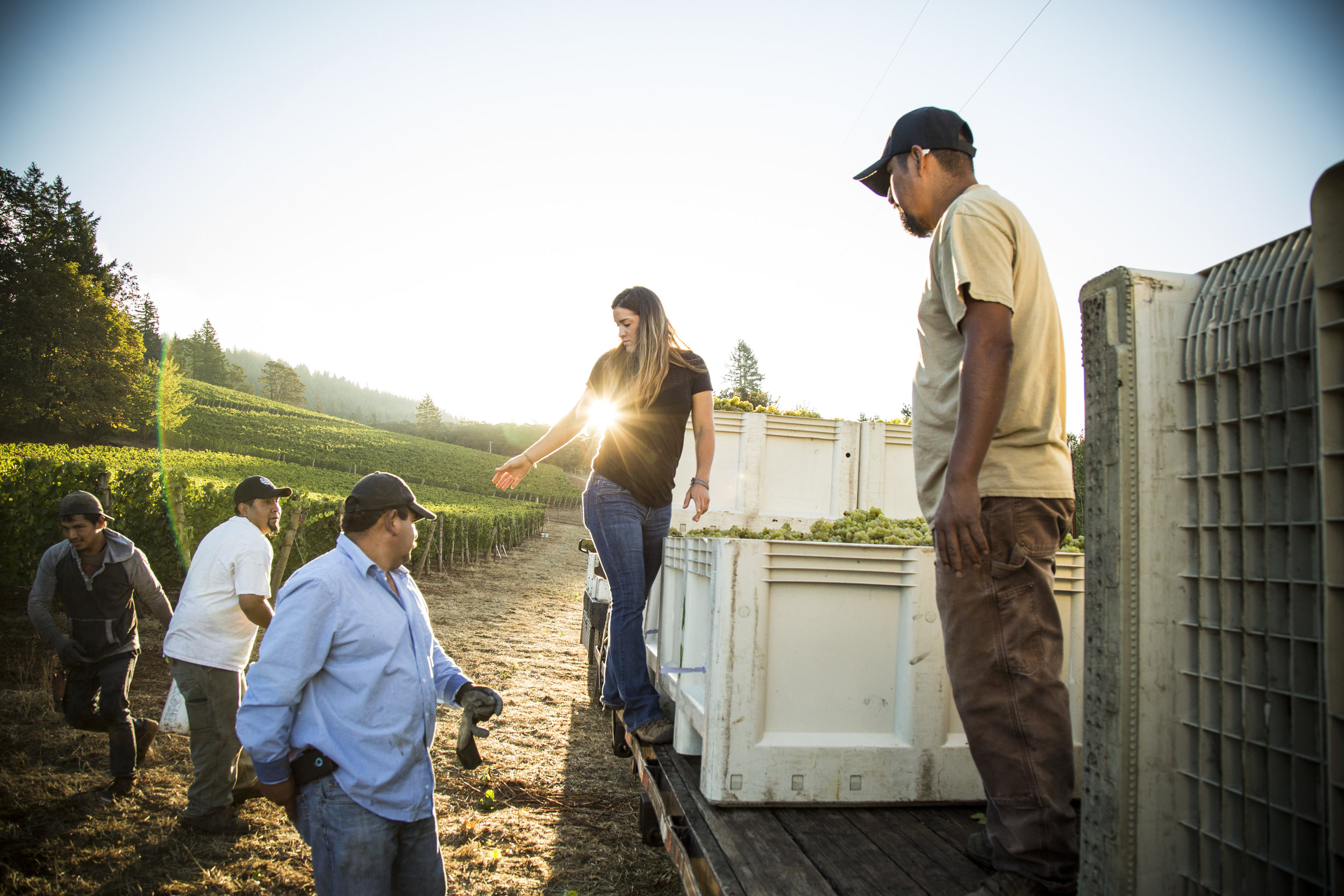 Adelsheim Employees Loading Grapes on a Truck