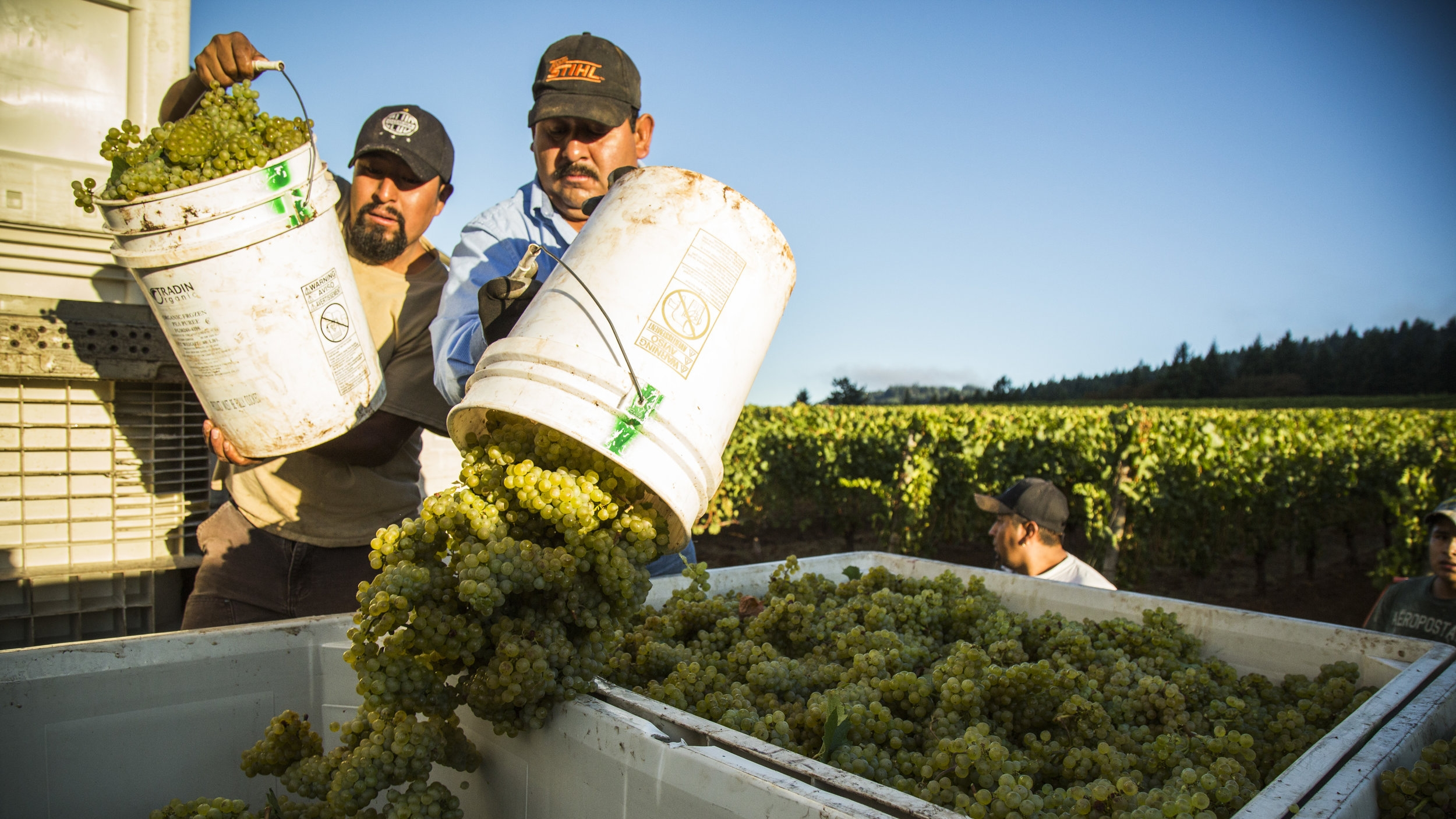 Adelsheim Employees Unloading Grapes into Truck from Harvest