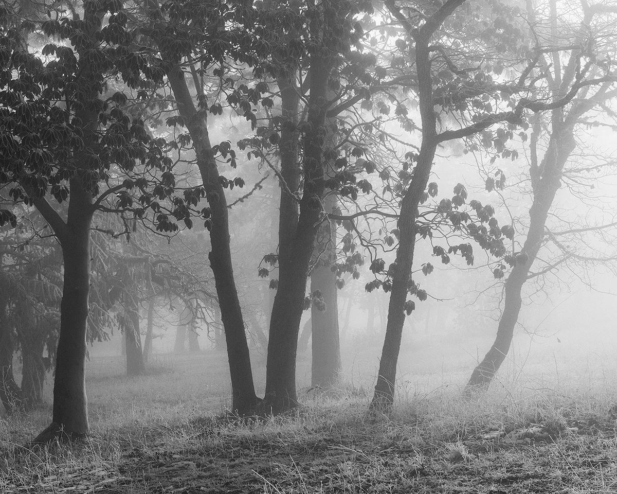 Madrones & Fog.jpg