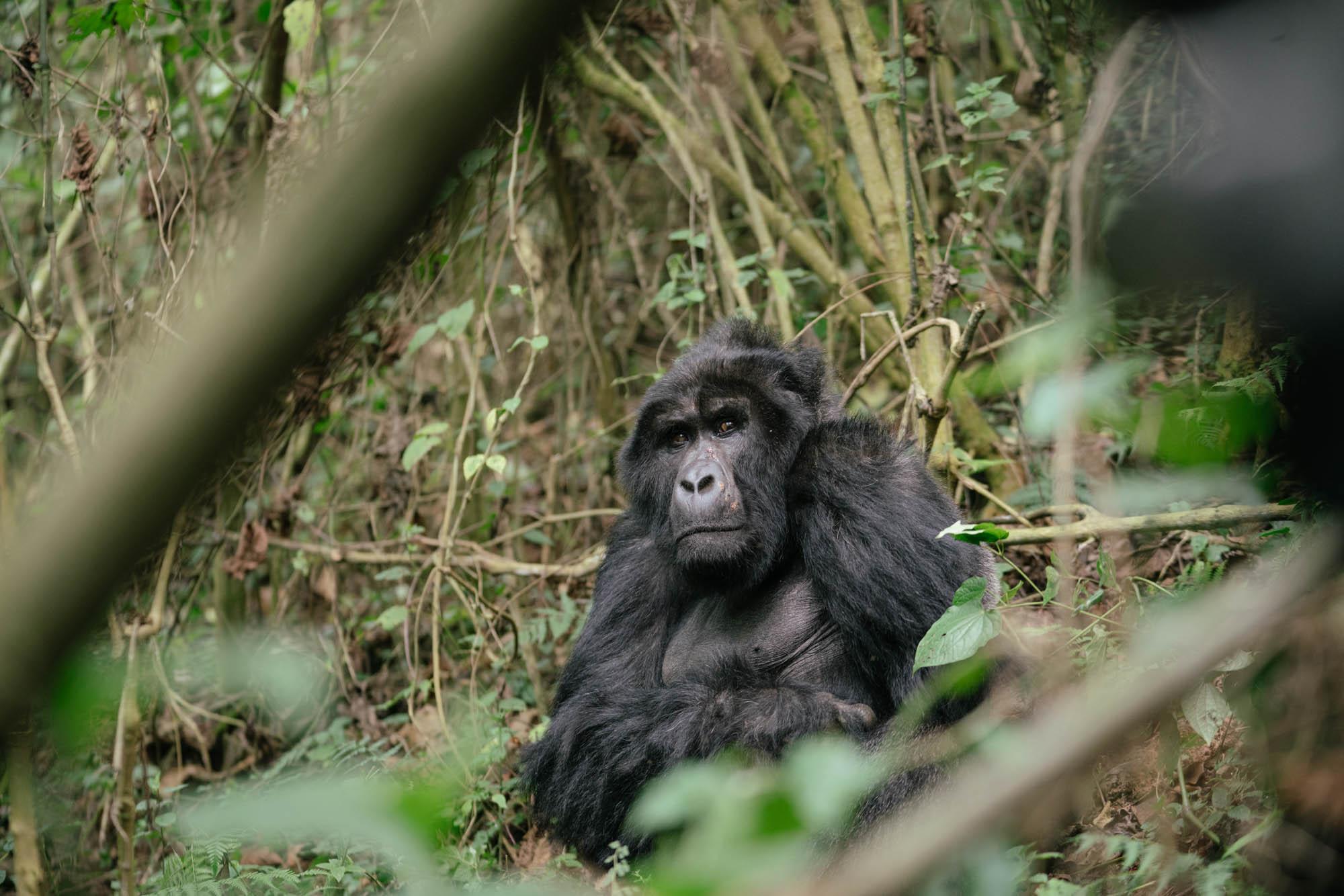CHS0030_SapphireSeven_Gorilla Tracking_-17.jpg