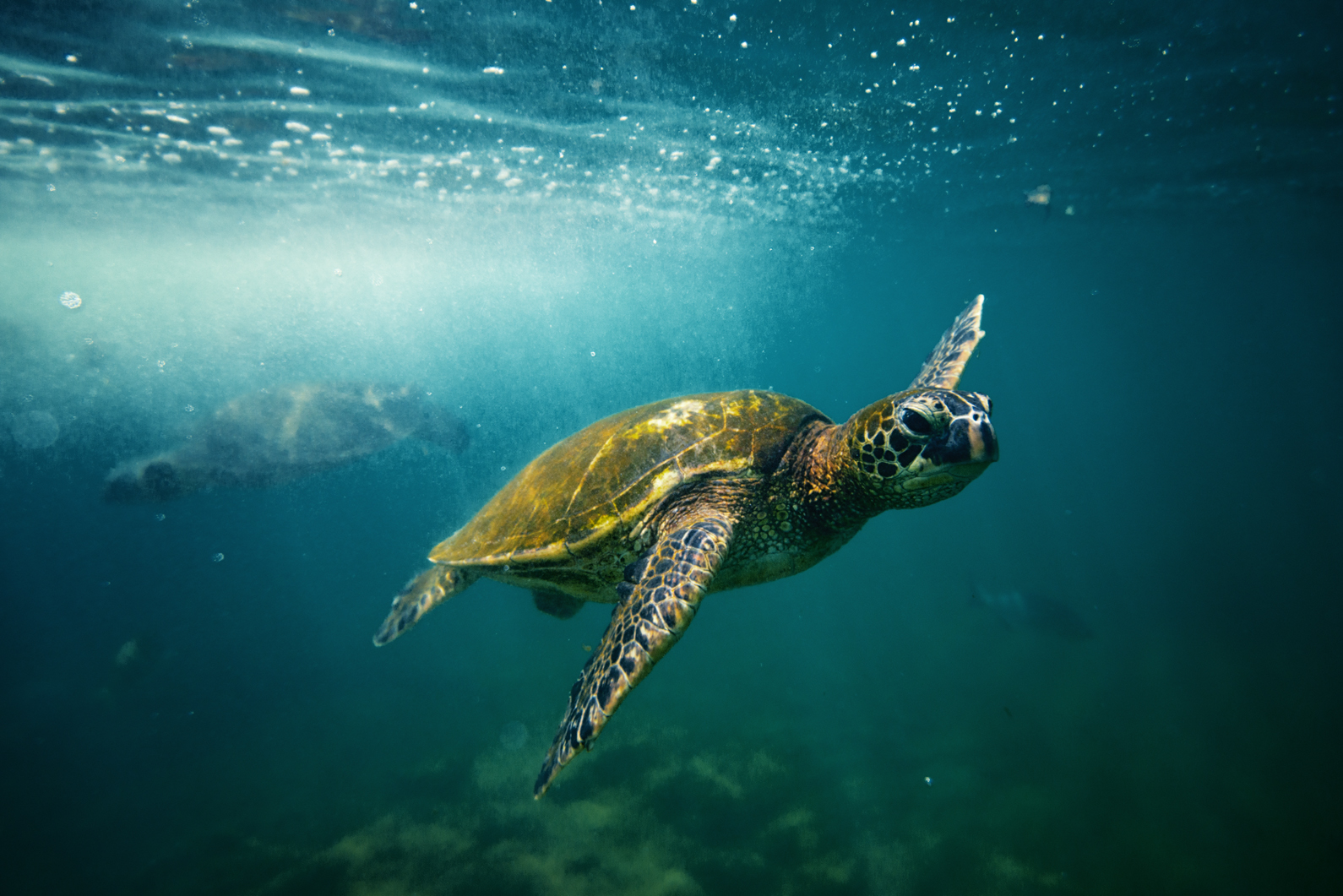 A sea turtle swims off the coast of Maui.