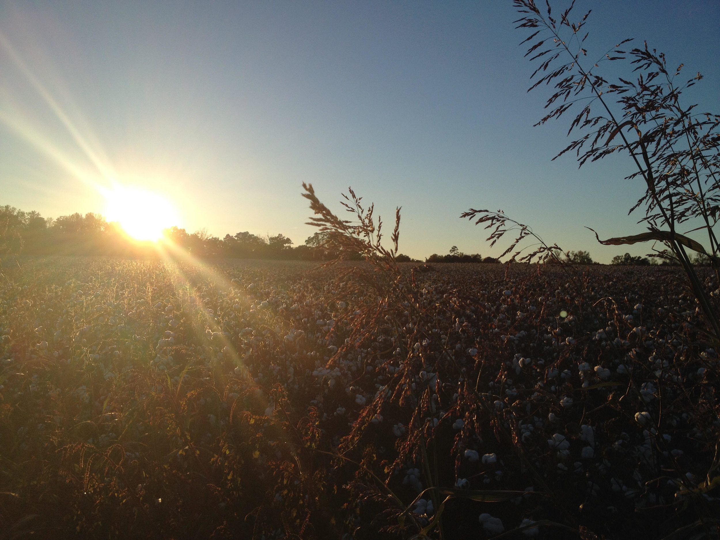 A cotton field in Union County, NC (image: Patrick Bradey)