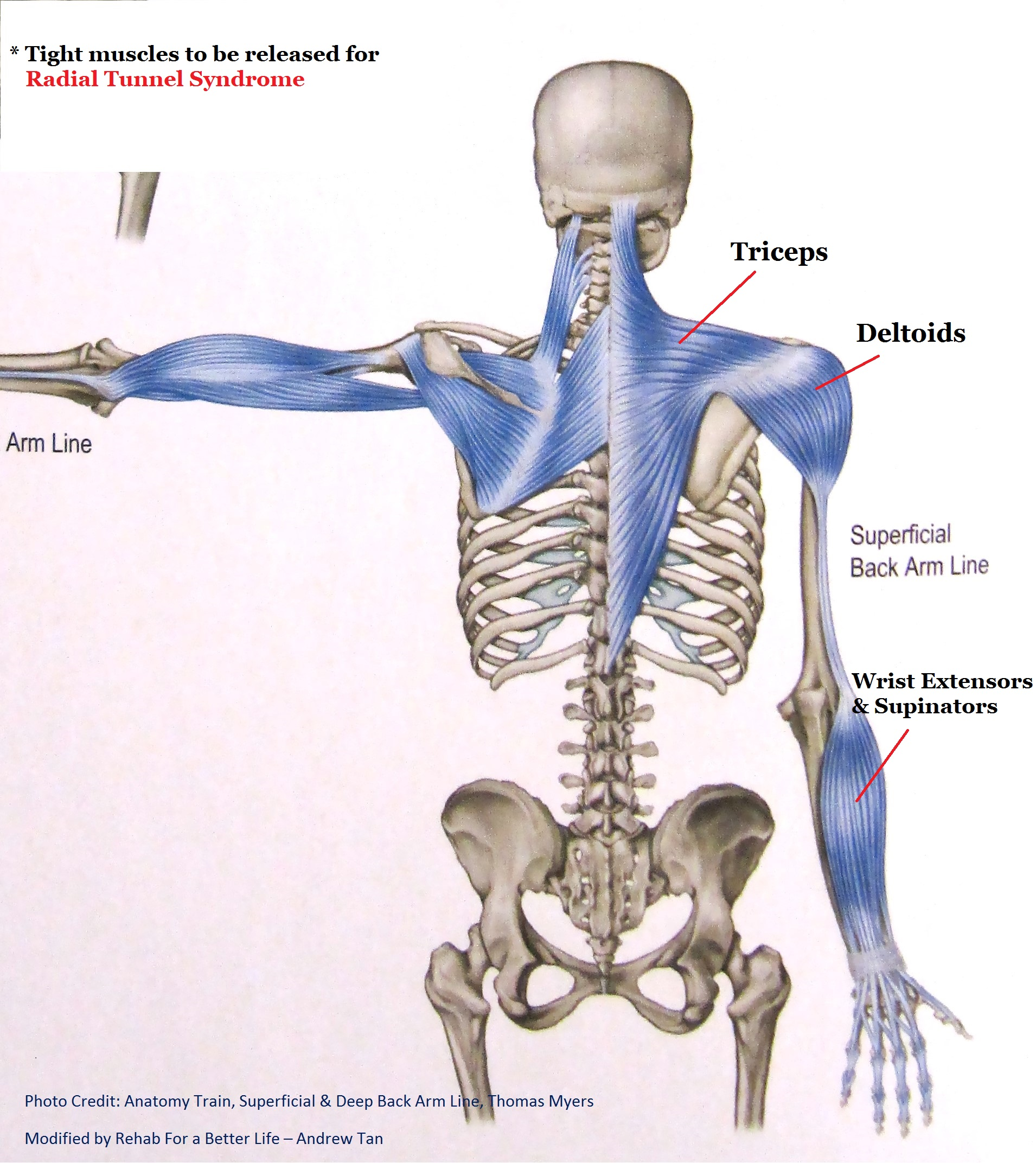Superficial and Deep Back Arm Lines