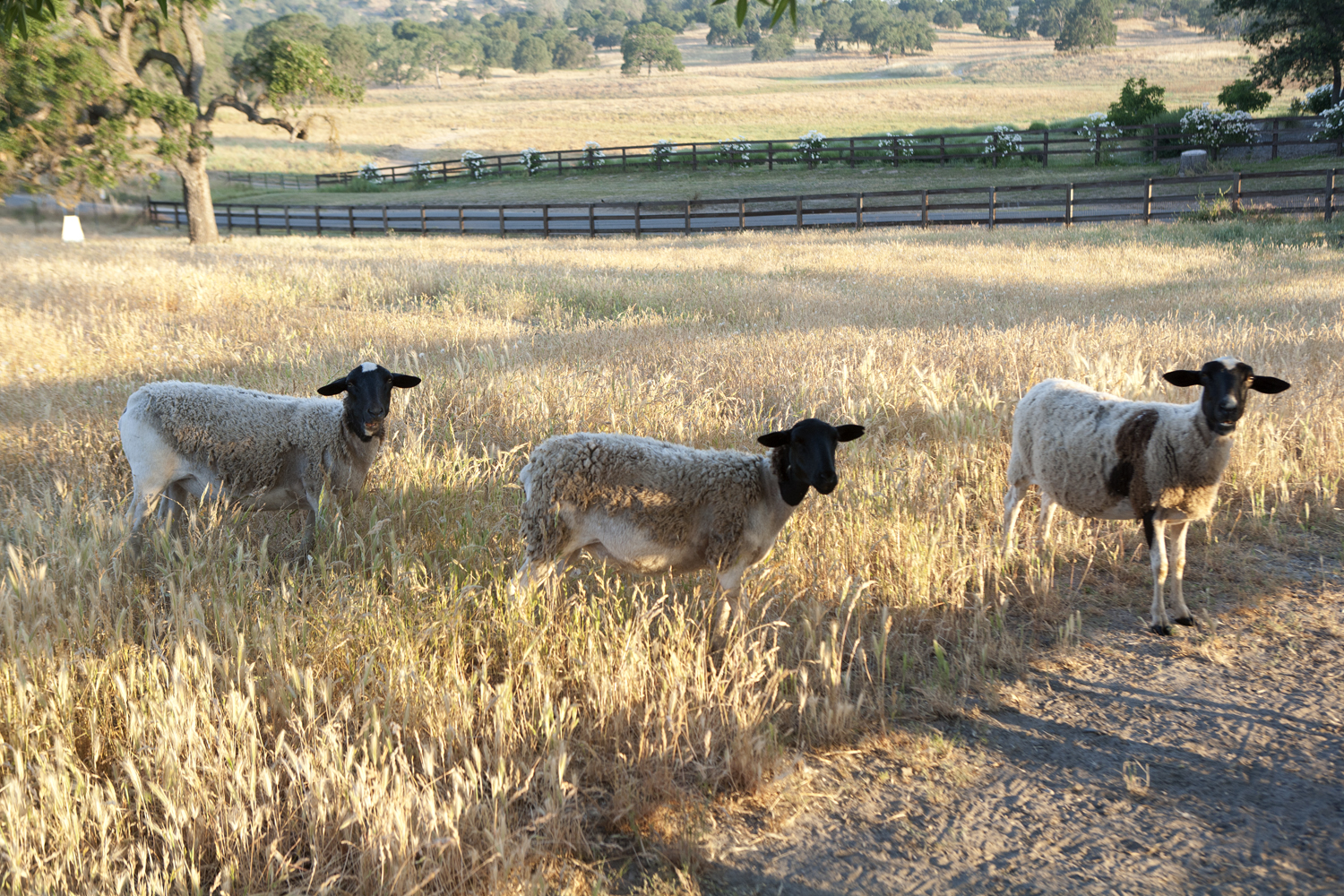 Our Philosophy: Sheep - Our Dorper sheep are easy to care for, fast-growing meat-producing sheep that forage on pasture on a rotational grazing system that helps maintain healthy systems not only for the animal but for the pastures.
