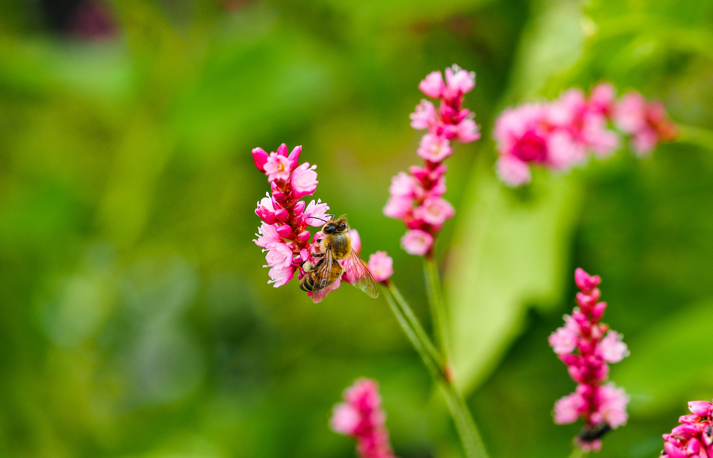 Pink and Bee