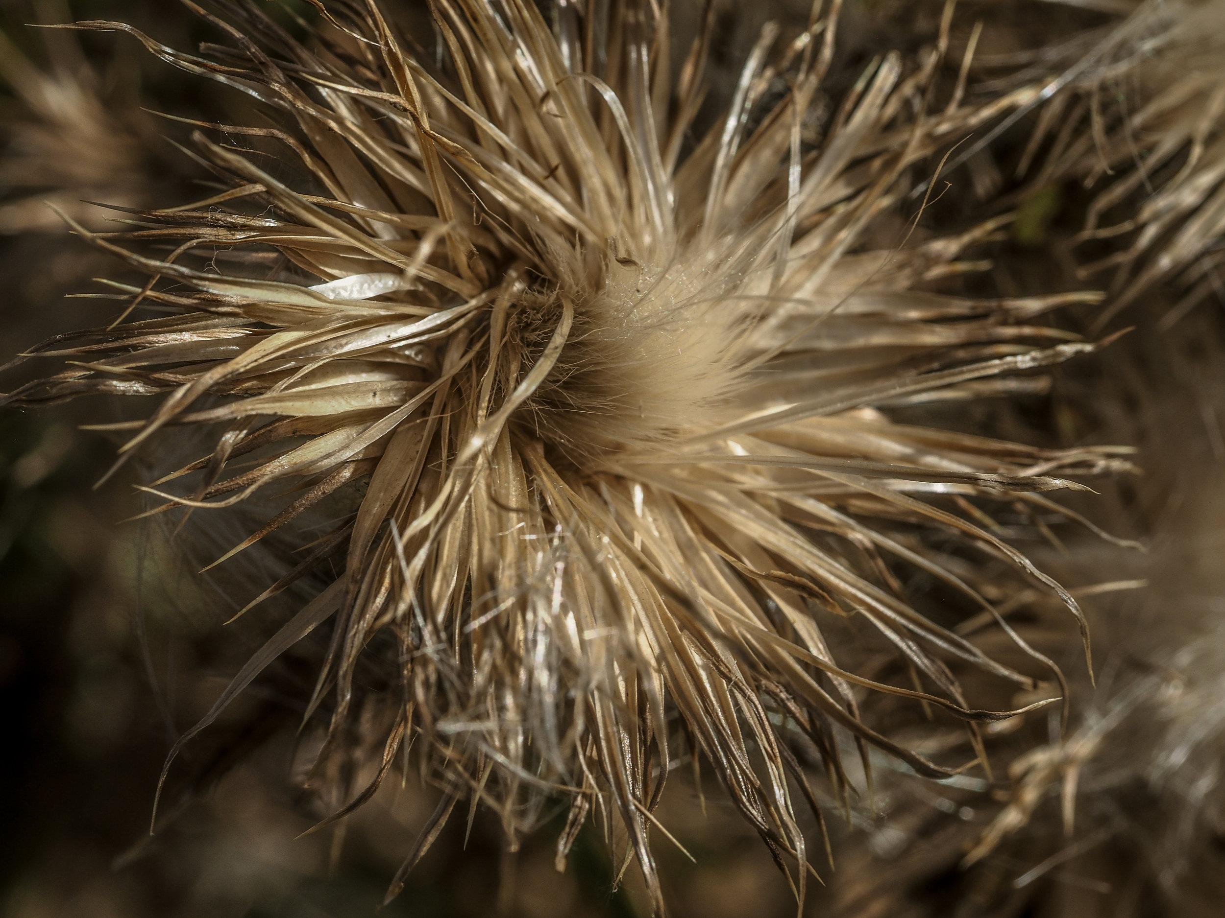 Silvery Flowerhead