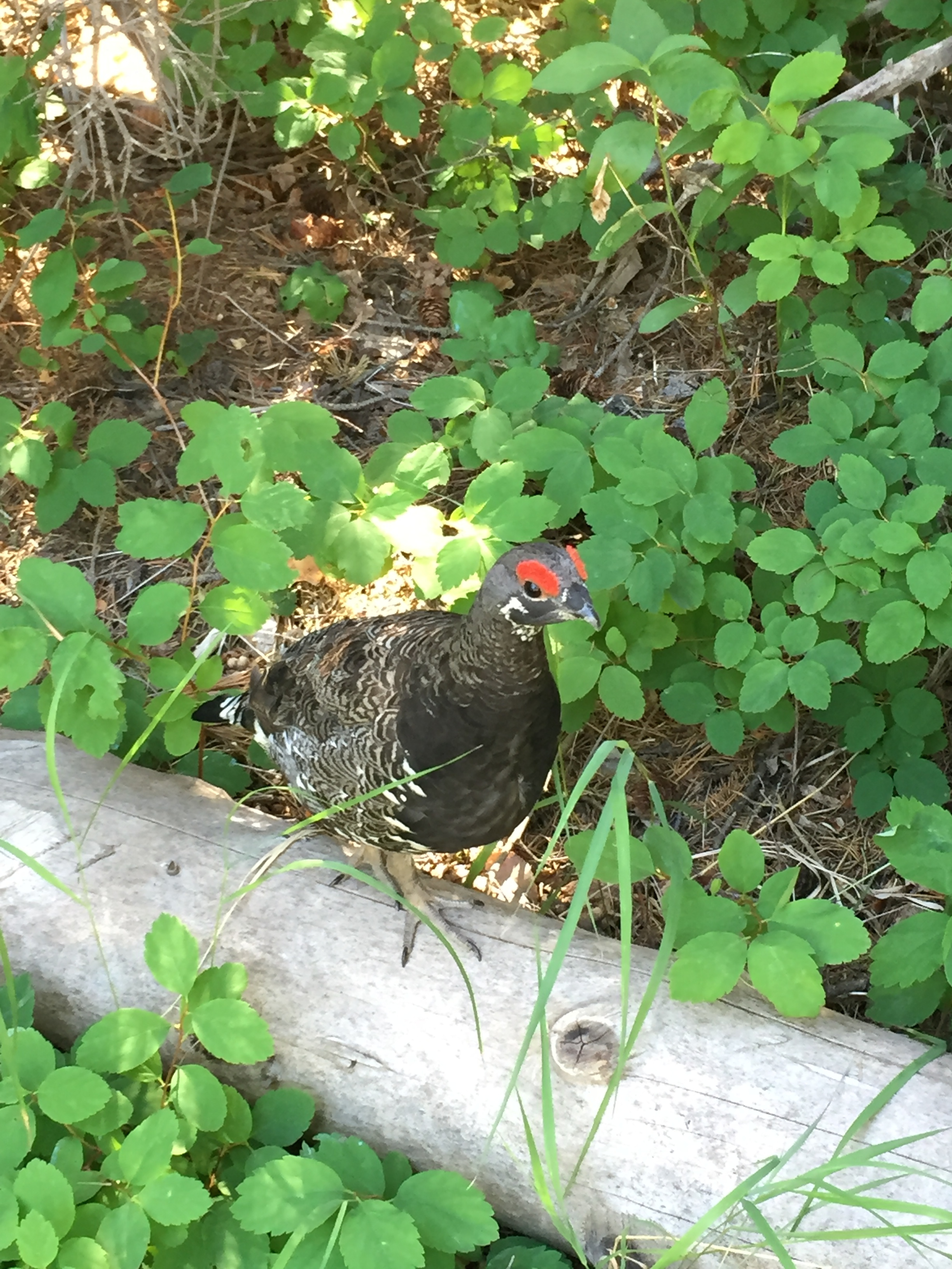 A little Spruce Grouse that found us very interesting.