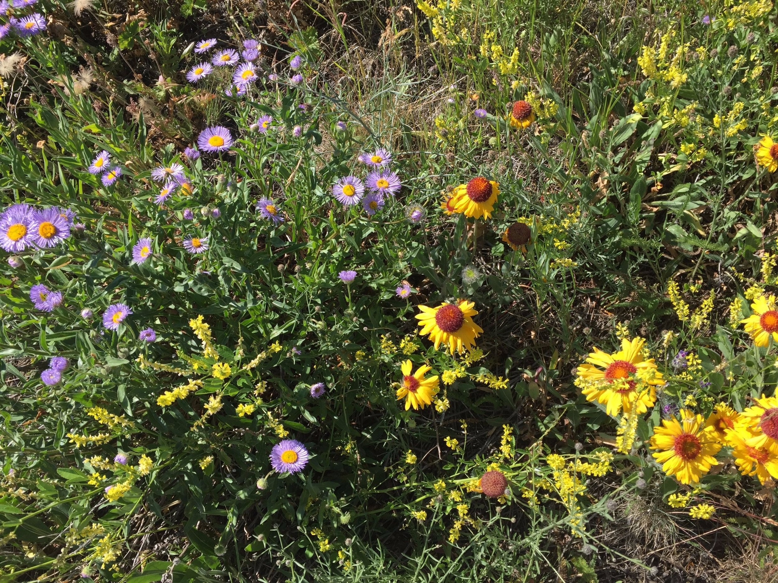 Aspen Fleabane (Purple) & Blanket Flower (Yellow)