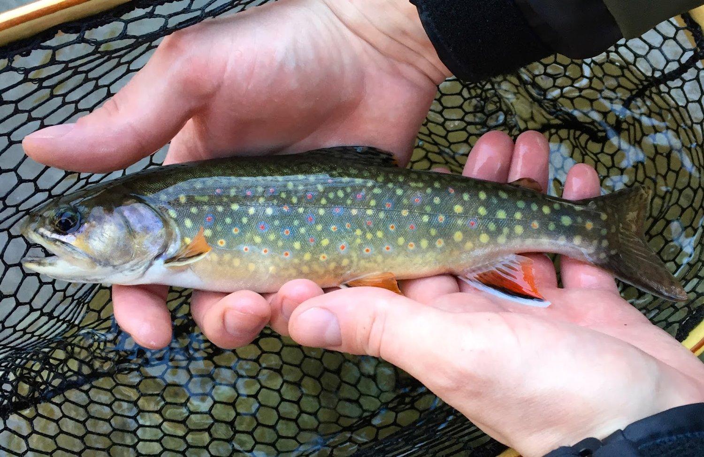 Brook trout, Shenandoah National Park, VA.