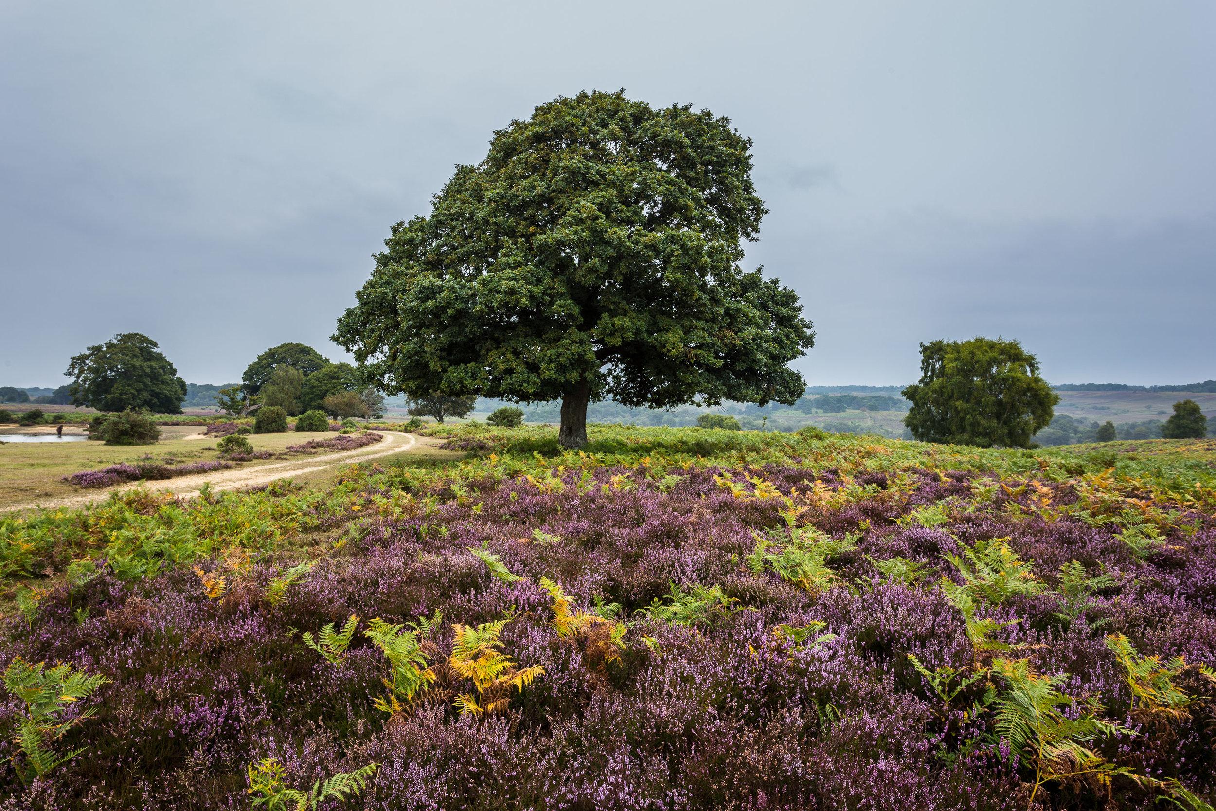 Newforest_heathland.jpg