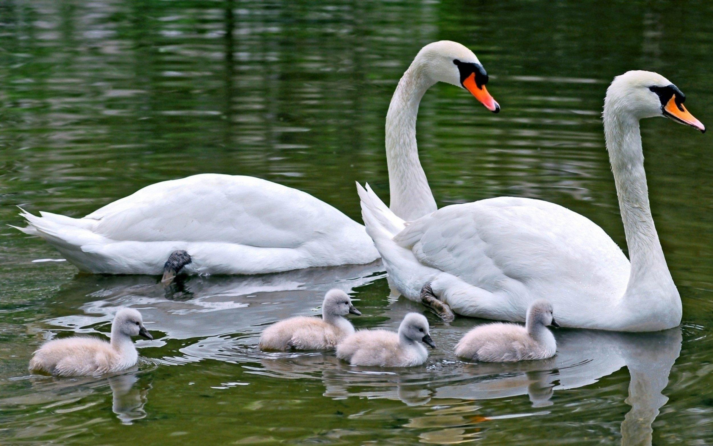 swans_swim_bird_young_89869_3840x2400.jpg