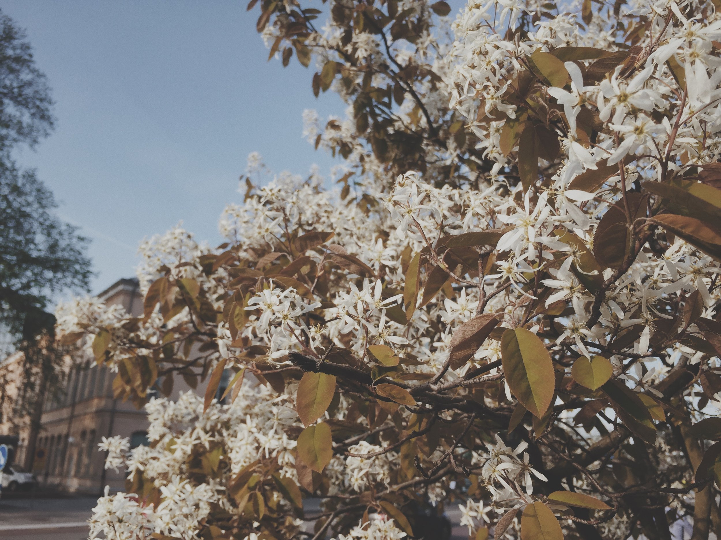 Photos from the Archive-  Celebrating the Imperfect. Spring blossoms captured with my iphone in Stockholm