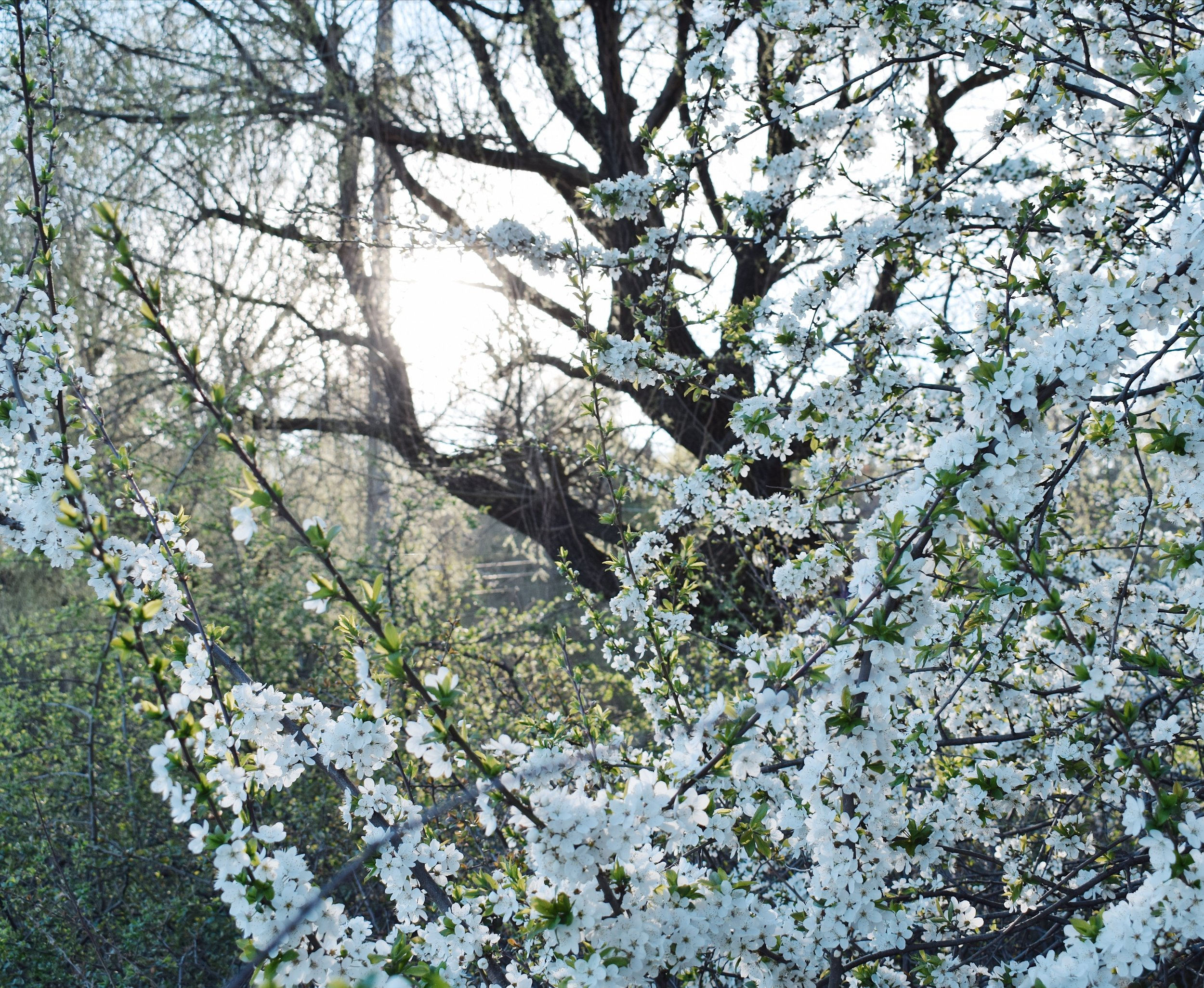 Tree filled with white flowers in the sun rise