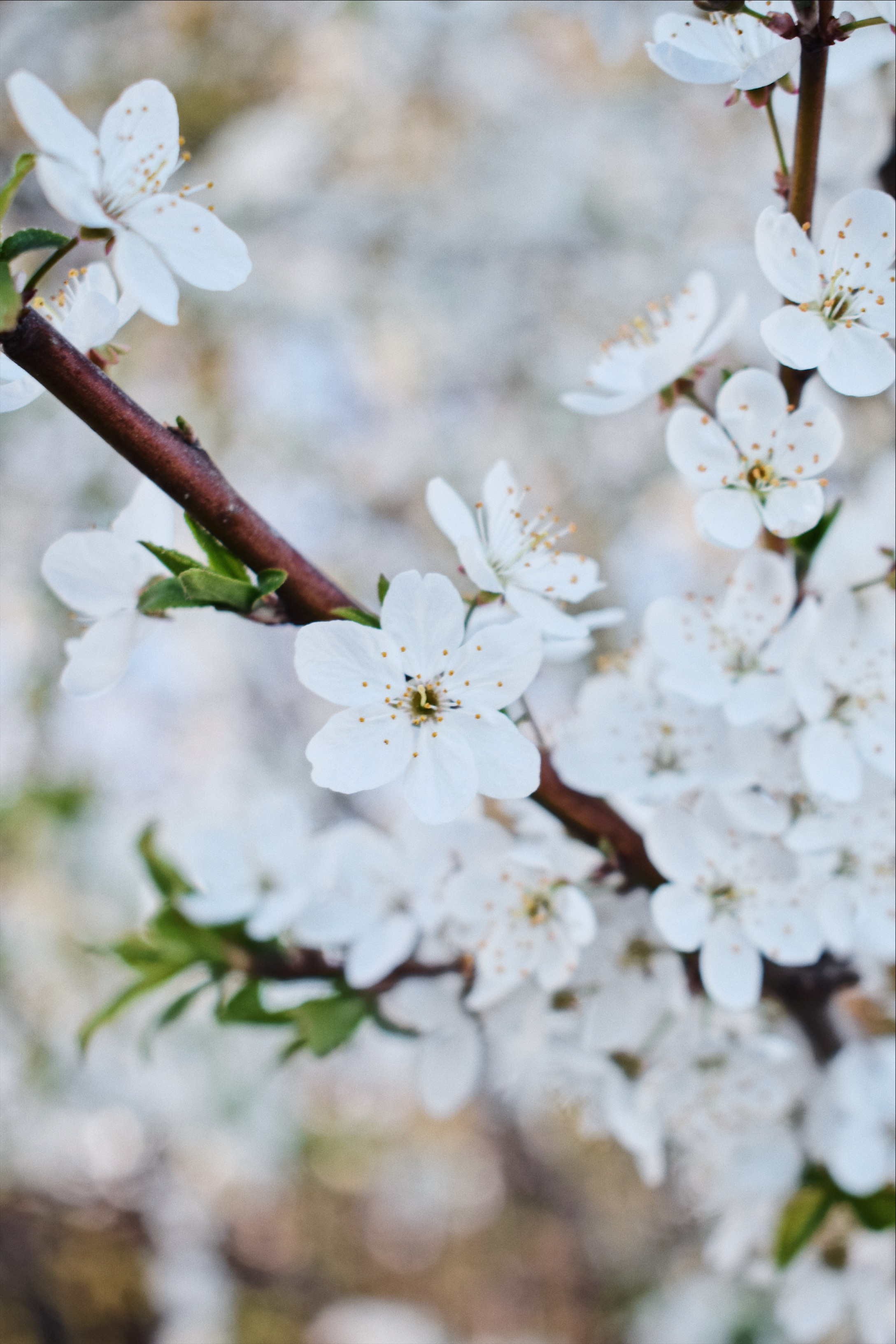 White flower on a twig