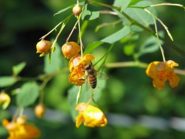 HoneyBeeOnYellowFlower
