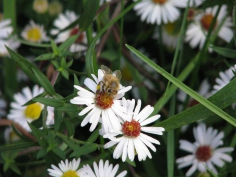 Visiting Honey Bee collecting pollen from our daisys!