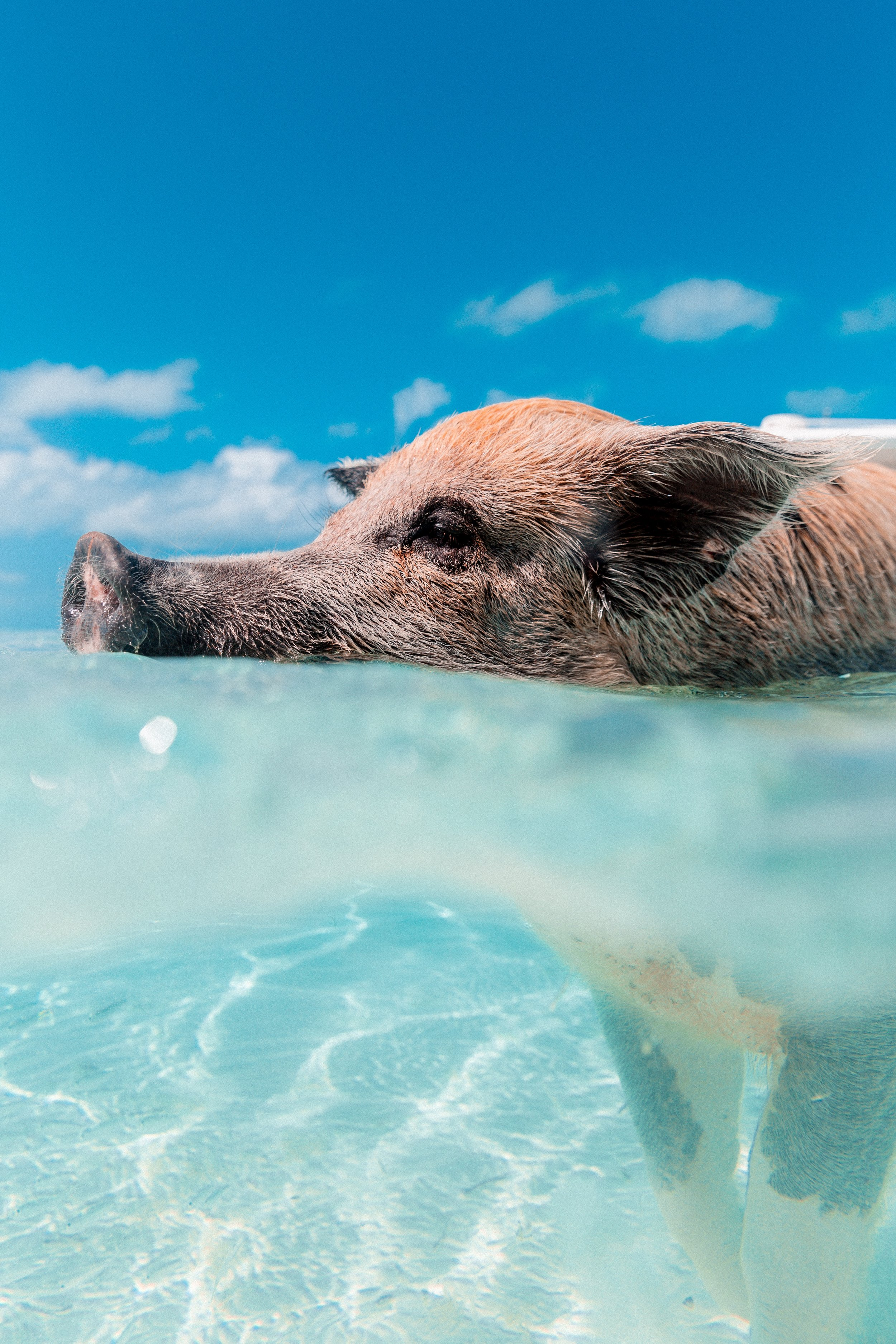 A pink pig swims in crystal clear water. Here's to blue skies and calm seas in 2019!  Photo:    Jakob Owens