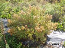 Potentille frutescente plantée sur un plastique 3 ans après la plantation (ferme Témistar)