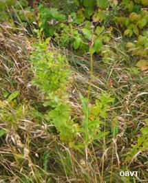Spirée à feuilles larges plantée sans plastique, 3 ans après la plantation (ferme Témistar)
