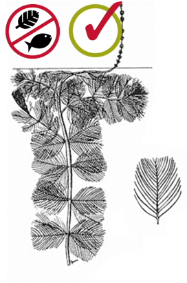 Myriophylle à épi/ Myriophyllum spicatum  Source : Crow, G. E., et C. B. Hellquist (2000). Aquatic and Wetland Plants of Northeastern North America