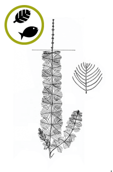 Myriophylle blanchissant Myriophyllum sibiricum  Source : Crow, G. E., et C. B. Hellquist (2000). Aquatic and Wetland Plants of Northeastern North America