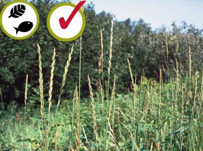 Chiendent offi cinal Elymus  repens Quackgrass (0,4 - 1 m)  © Bibiane Racette, CREAT
