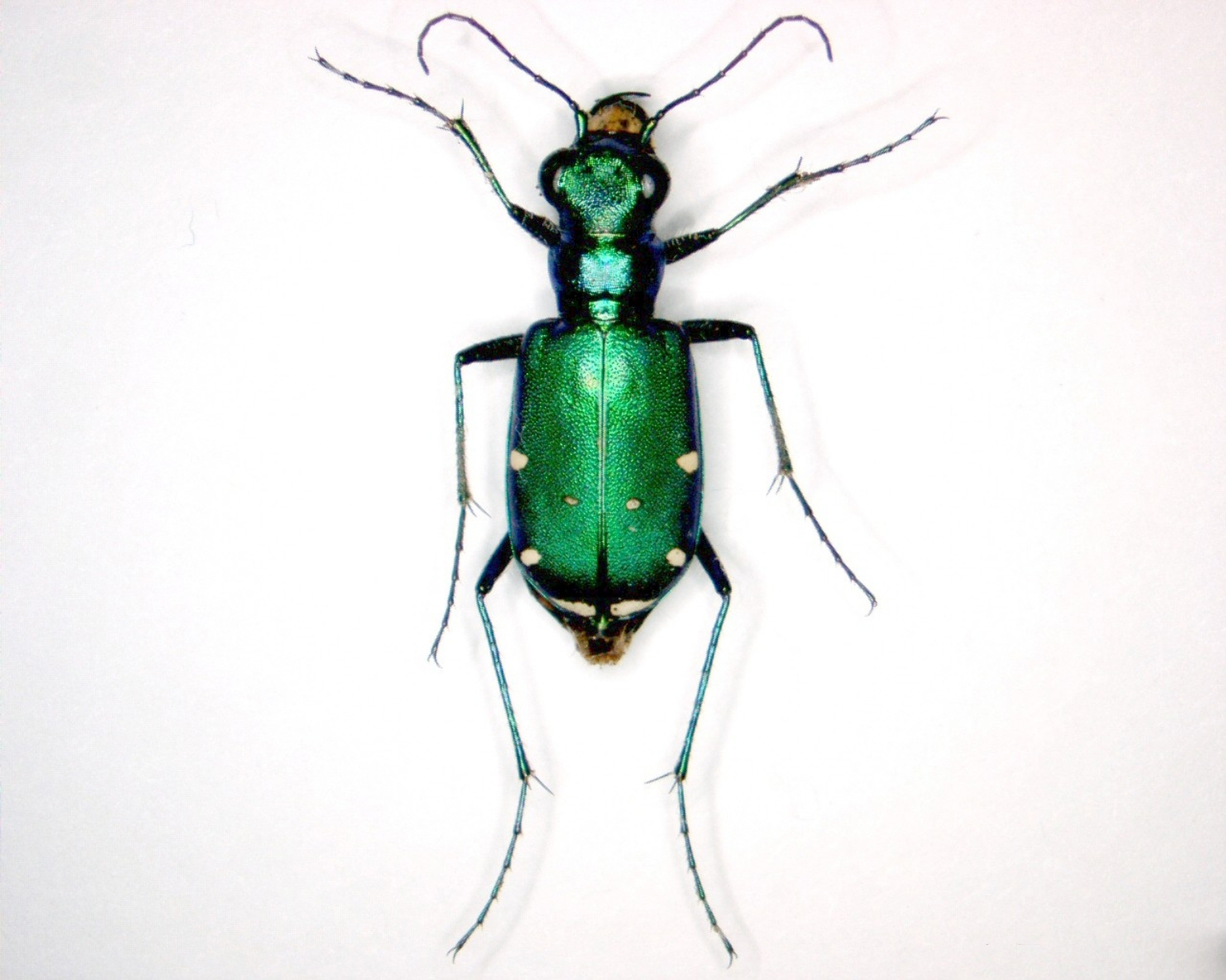 Six-spotted green tiger beetle ( Cicindela sexguttata ). © Pennsylvania Department of Conservation and Natural Resources – Forestry Archive, Bugwood.org